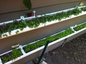 Greens in gutter gardens 2-3 weeks growth